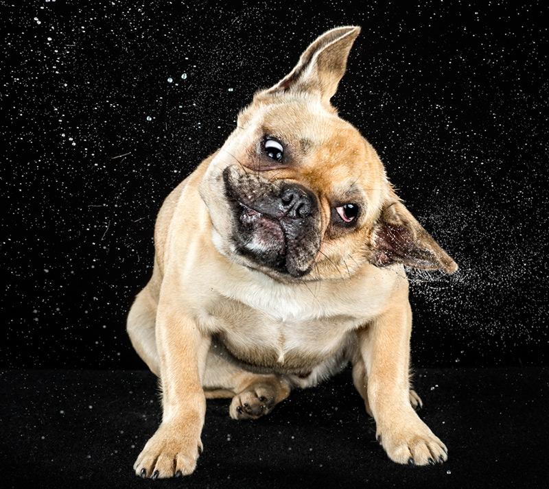 Vito / French Bulldog / Courtesy Carli Davidson & Harper Collins