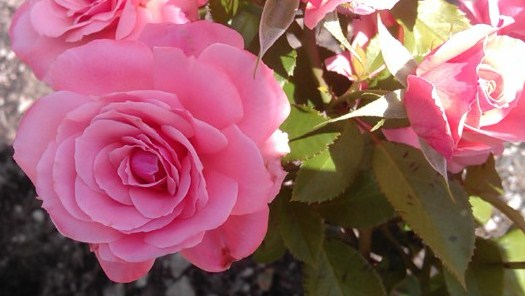 Торонто, Розы