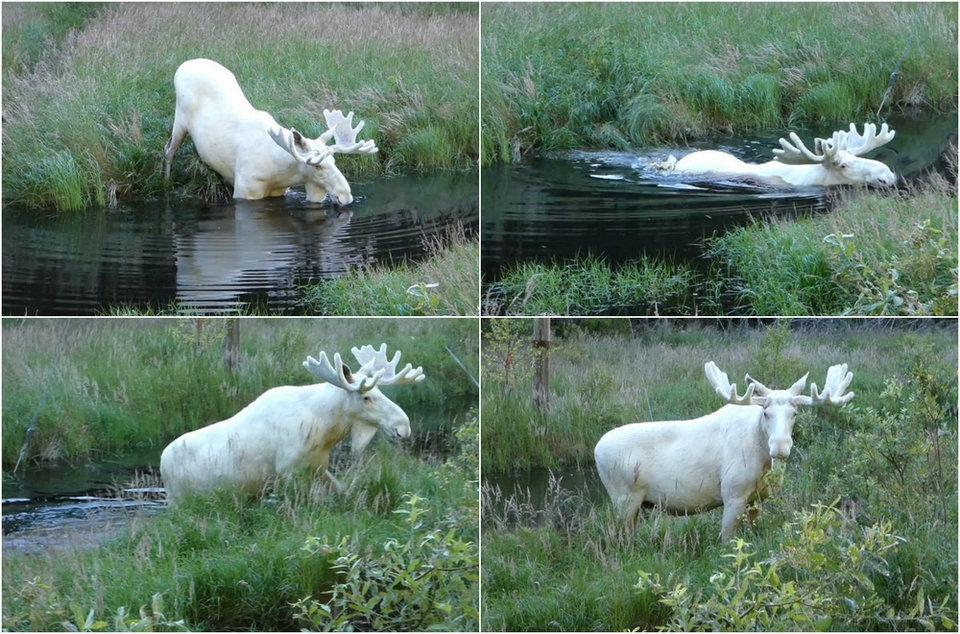 Шведский исследователь заснял очень редкого белого лося