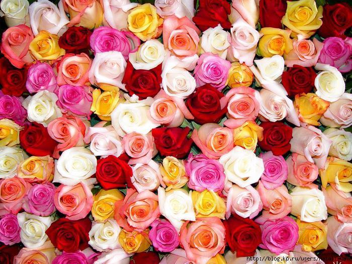 Открытки. День Учителя!  Поздравляем. Сотни роз