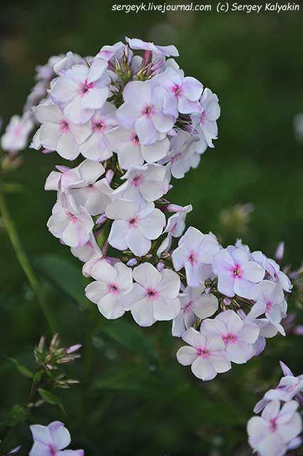 Phlox paniculata Sedaya Neva (2).JPG