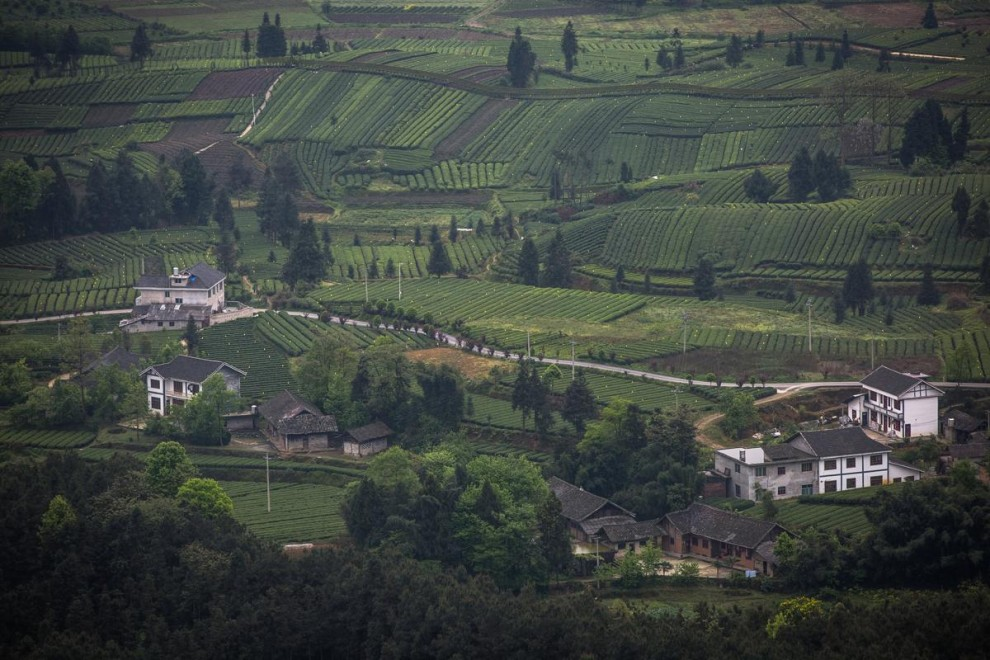 Туристический поезд проезжает мимо чайной плантации в окрестностях города Цзуньи в провинции Гуйчжоу