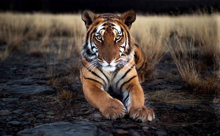 Фотографии и текст Alexey Osokin   1. Дальневосточных леопардов в дикой природе насчитываетс