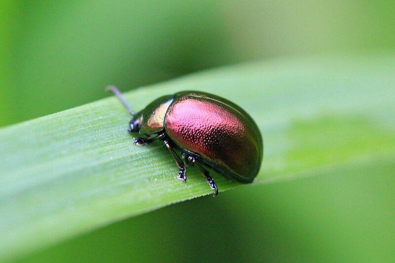 Глянцевый металлически блестящий жучок с зеленым и красным металликом на панцире на зазубренной травинке