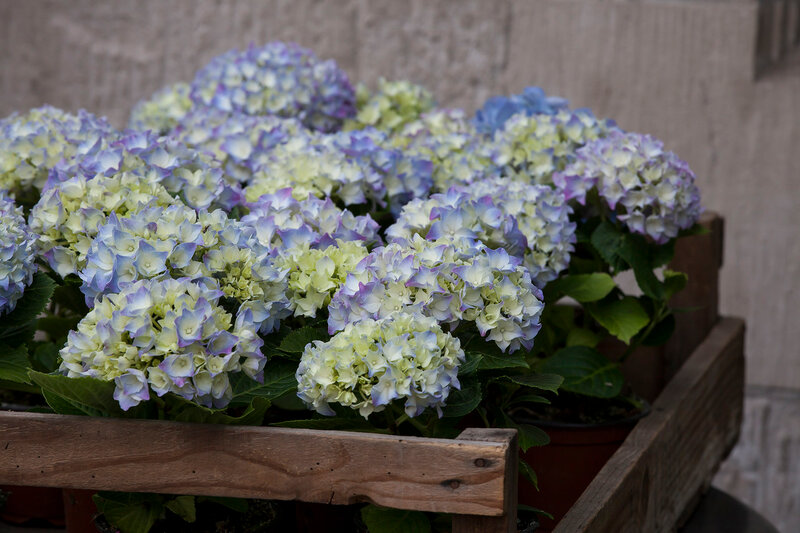 the Blue Hydrangea in a wooden box as a garden ornament against a gray stone wall