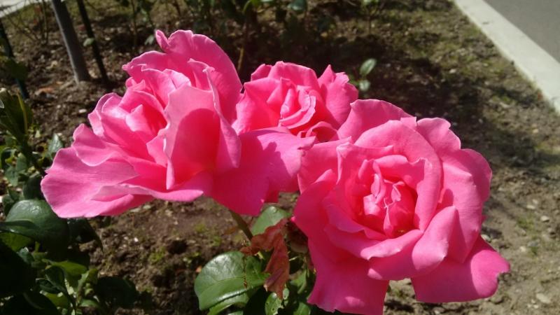 Розовое  свечение