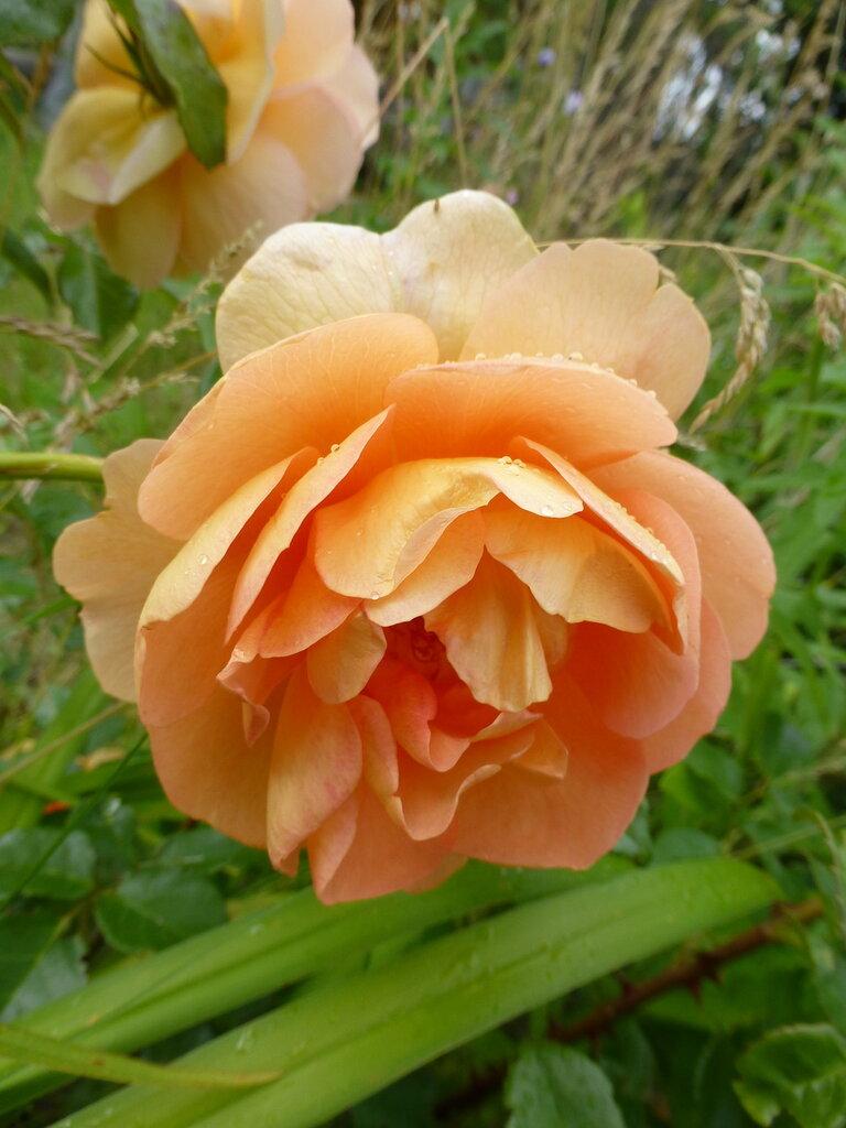 Розы с яйцами и прочие дачные радости L1280009.JPG
