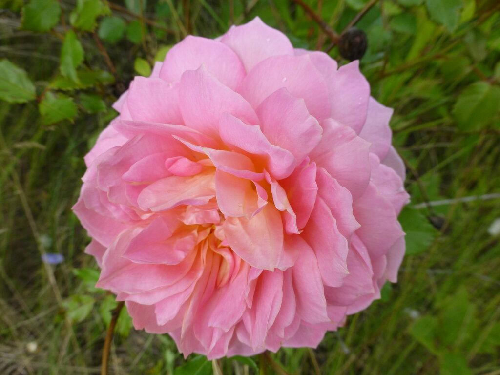 Розы с яйцами и прочие дачные радости L1280011.JPG