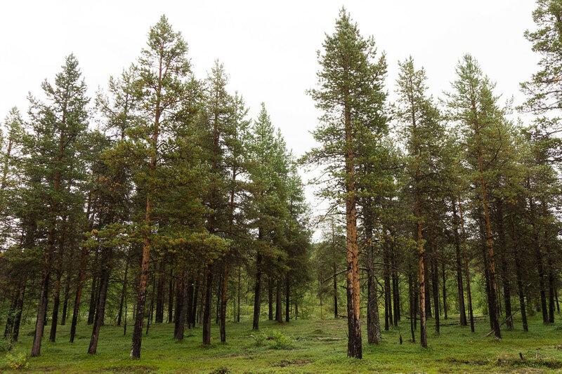 низкорослй сосновый лес за полярным кругом в финляндии