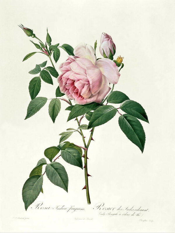 rosa-chinensis-and-rosa-gigantea-joseph-pierre-redoute.jpg