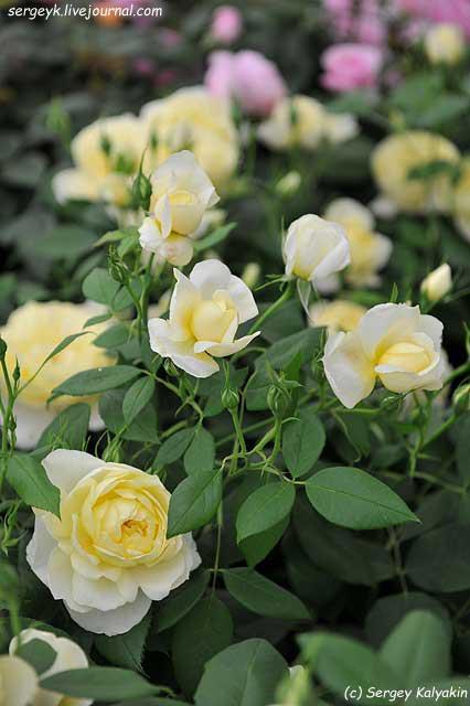 Rosa Vanessa Bell (1).JPG