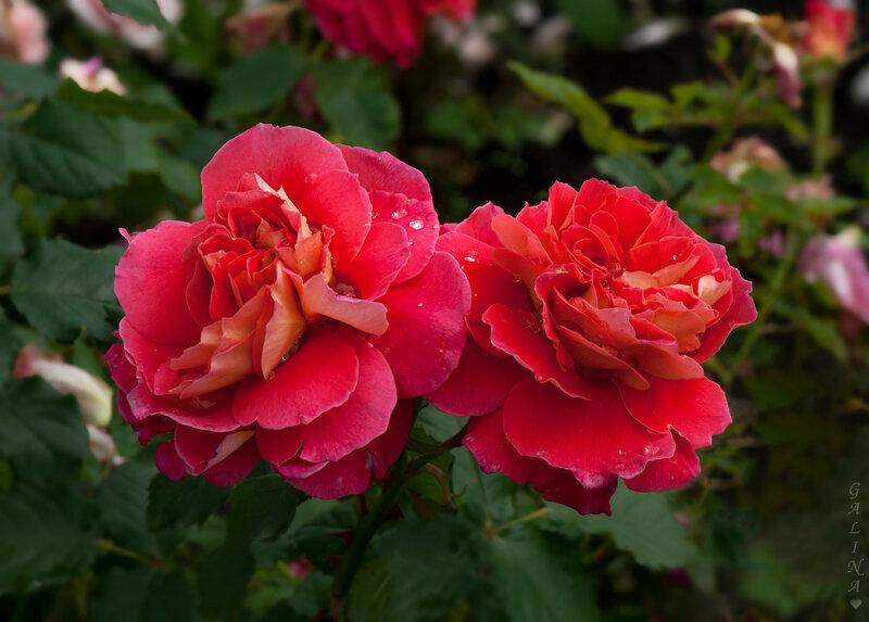 Роза Рен Саммю
