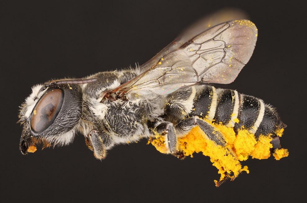 4. Многие виды пчёл мало изучены. Размер пчёл колеблется от 2.1 мм у карликовой пчелы (Trigona