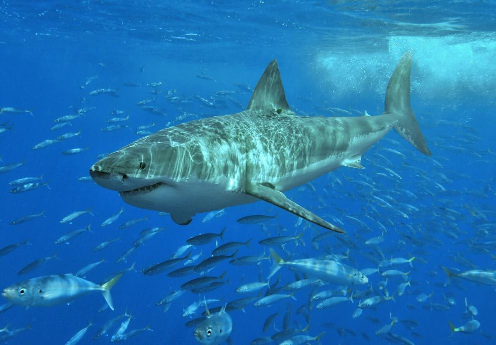 Несмотря на атаки, совсем человек не является конечной целью акулы. Инциденты связаны с тем, чт