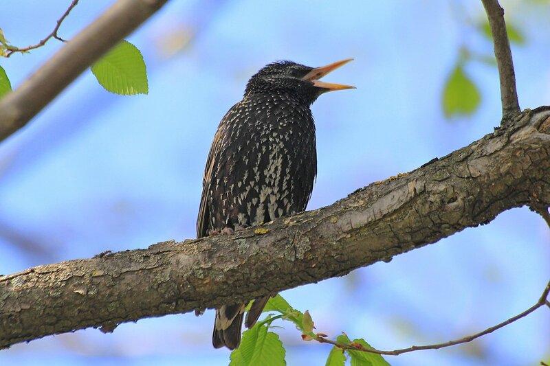 Скворец обыкновенный (Sturnus vulgaris) в черном оперении со светлыми крапинками у своего скворечника поёт песню