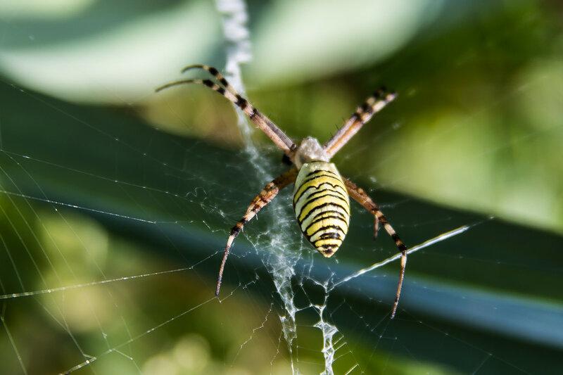 Тропический паук