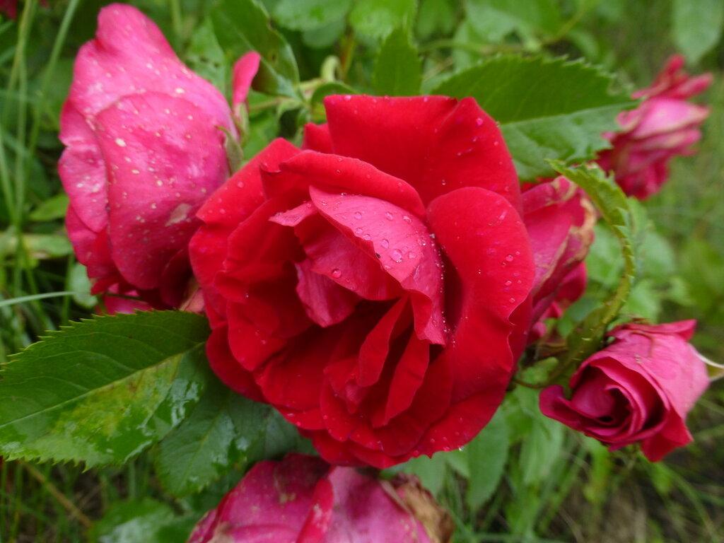 Розы с яйцами и прочие дачные радости L1280014.JPG
