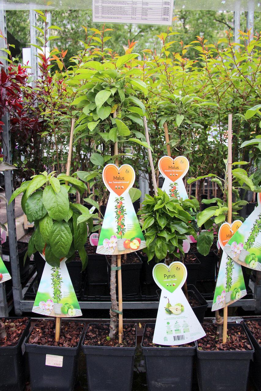 Саженцы ЗКС плодовые, ягодные штамбы и колонны – сегодня в продаже в наших магазинах и в интернет-магазине!