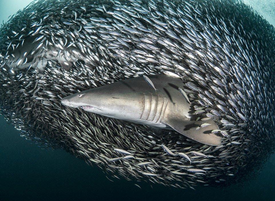 Кадры на миллион: акулы проплывают через косяк рыб