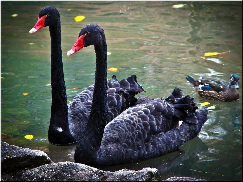 черные лебеди в австралии фото наличии