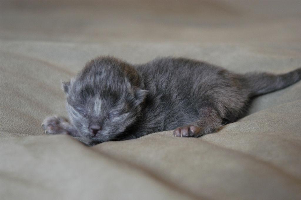 Какими рождаются вислоухие котята