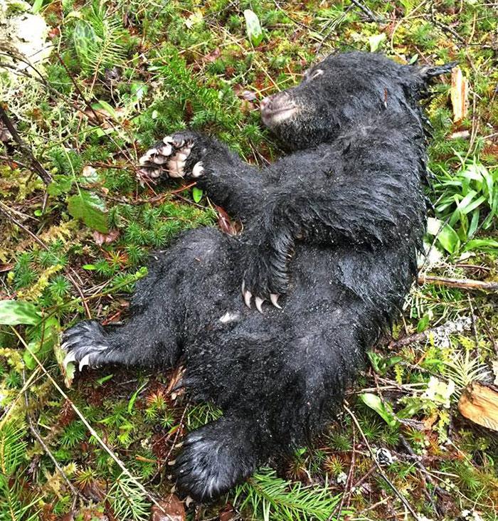 Как только Хэнкок добрался до машины, медвежонок перестал дышать. Тогда фотограф сделал животному ис