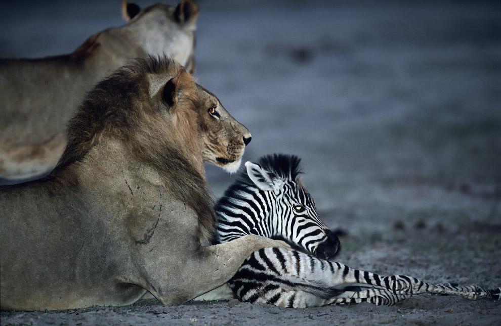 Это были лишь несколько примеров интересного и неочевидного поведения животных. Понравилась ста