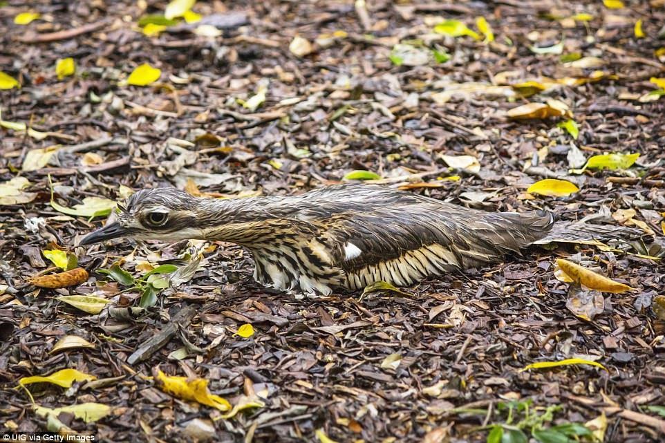Птица исполинский козодой маскируется под ящерицу на Дереве в Бразилии.