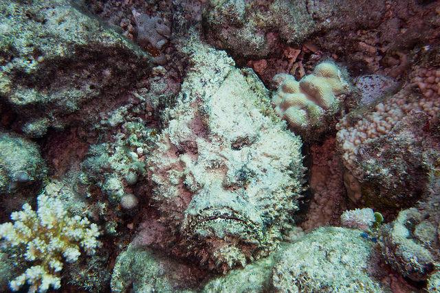 Рыба-камень (бородавчатка) – одна из самых ядовитых рыб в мире, которая обитает в Красном море близ