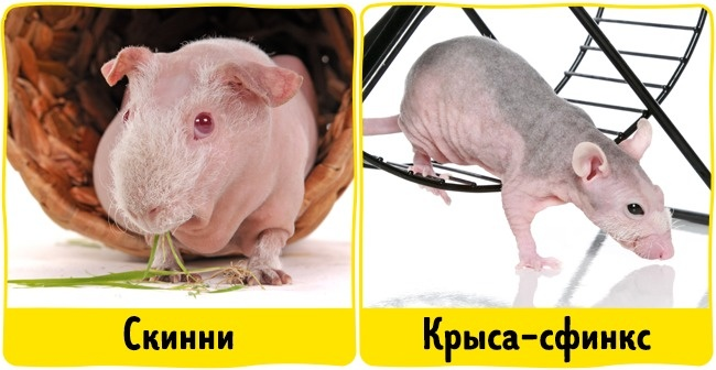 © depositphotos  Лысые морские свинки и крысы-сфинксы выглядят довольно экзотично, но, как и