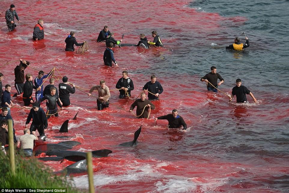 На кровавых берегах: фарерцы снова зверски убивают сотни дельфинов (12 фото)