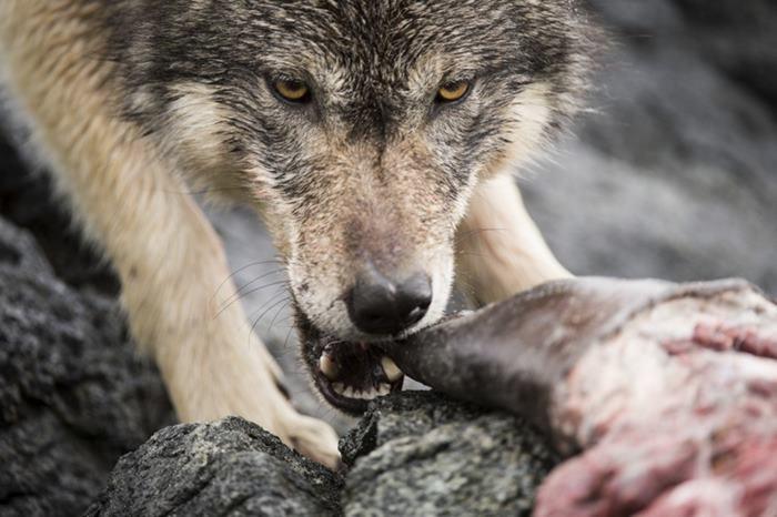 Несмотря на внешнее сходство, между прибрежными и лесными волками есть разница, которая отражается д