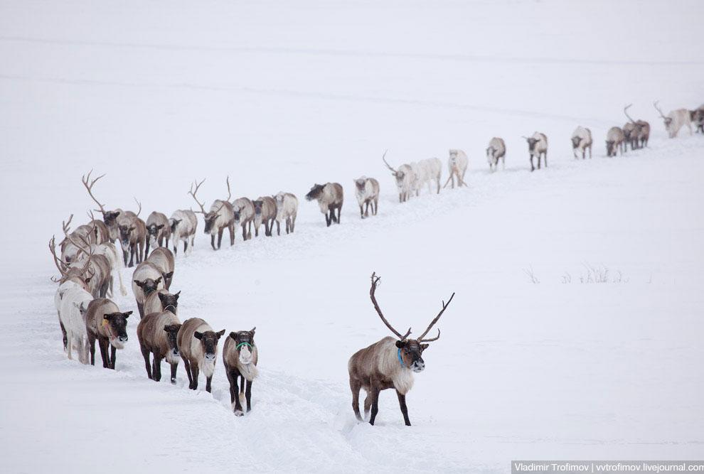 Во многих местах оленям приходится идти по глубокому снегу: