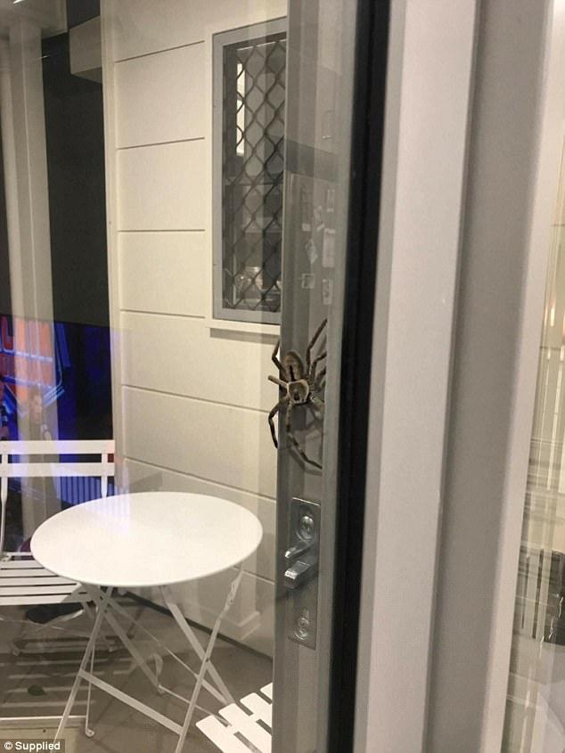 В Австралии сфотографировали, кажется, самого большого паука в мире (3 фото)