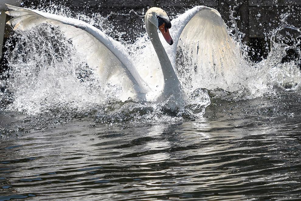 13. Некоторые лебеди категорически против этой процедуры. (Фото Carl De Souza):