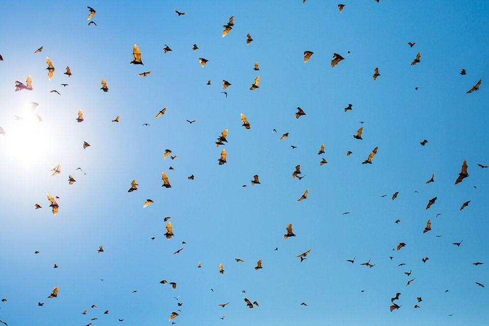 Крупные виды летучих мышей могут питаться не только насекомыми, но и птицами, ящерицами, лягушк