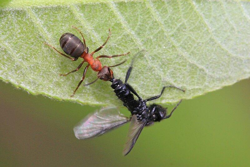 Рыжий лесной муравей поймал чёрную (апрельскую) муху Bibio marci из семейства комаров-толстоножек