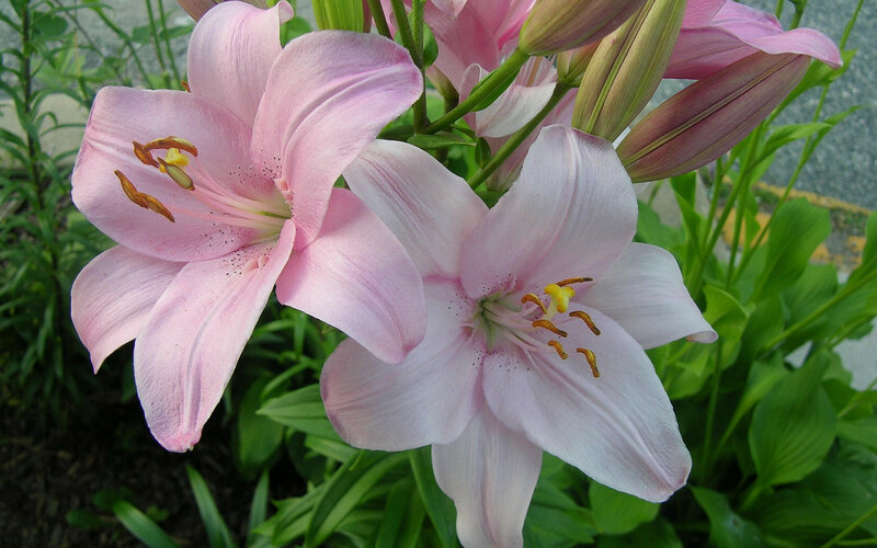 lilies-24886.jpg