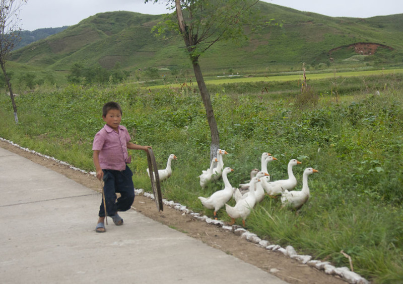 Мальчик выгуливает гусей на шоссе. В основном люди используют шоссе для своей повседневной деятельно