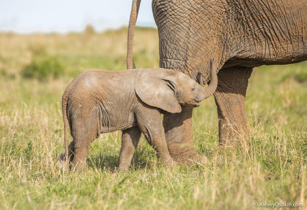 Продолжительность жизни африканского слона приблизительно равна человеческой — около 70 лет. Са