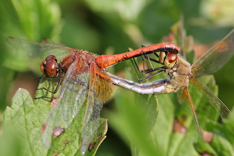 Красный самец и жёлтая самка стрекозы жёлтой (Sympetrum flaveolum) с желтым оттенком и красными точками на крыльях в момент копуляции (занимаются сексом)