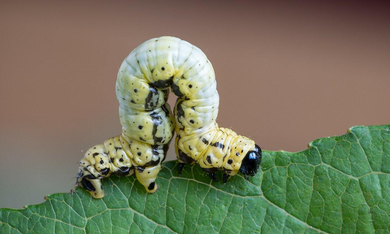 Гусеница пяденицы Abraxas sylvata (Geometridae: Ennominae) Автор фото: Владимир Брюхов