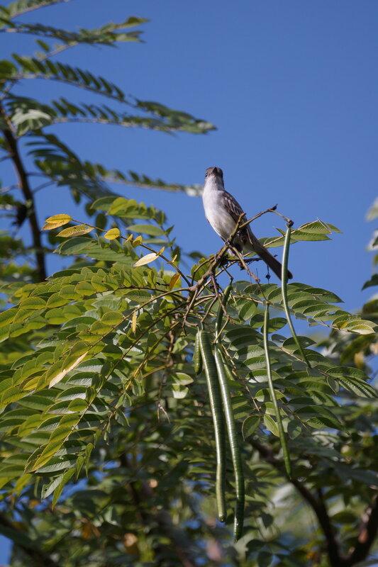 La Sagra's Flycatcher (Myiarchus sagrae) - тиранновая мухоловка
