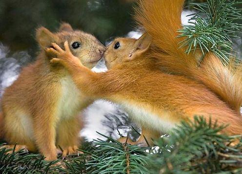 Открытки. 6 июля - Всемирный день поцелуев! Белочки целуются