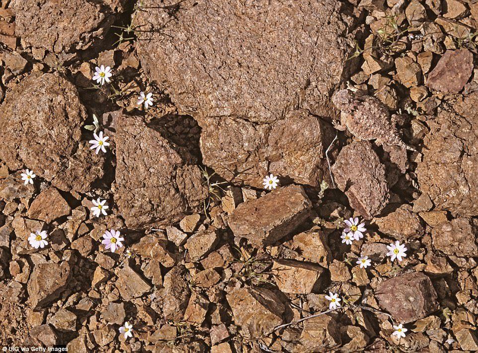 Небольшое красное пятно на теле этой круглоголовки – единственное, что делает её заметной среди камн