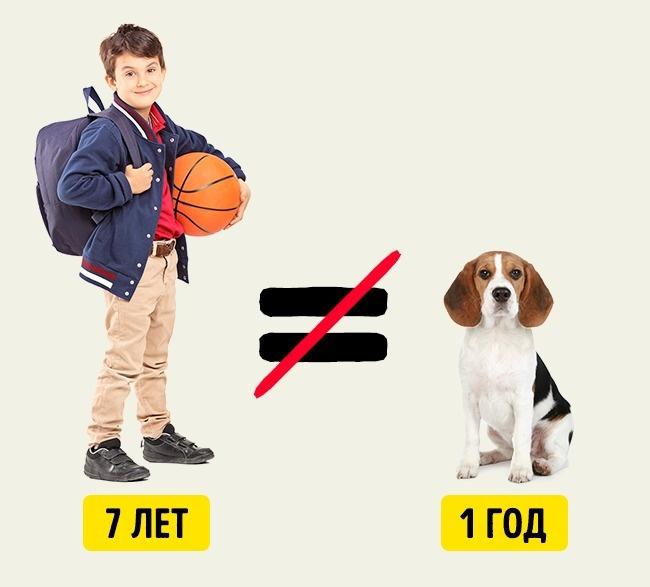 © depositphotos.com  Среди хозяев собак бытует мнение, что один год жизни собаки равен семи че