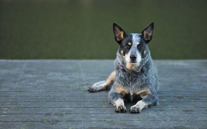 УМНИЦЫ — ПРОСТО СПОСОБНЫЕ ПОРОДЫ СОБАК Эти собаки отлично помнят команды, отреагируют на отдан