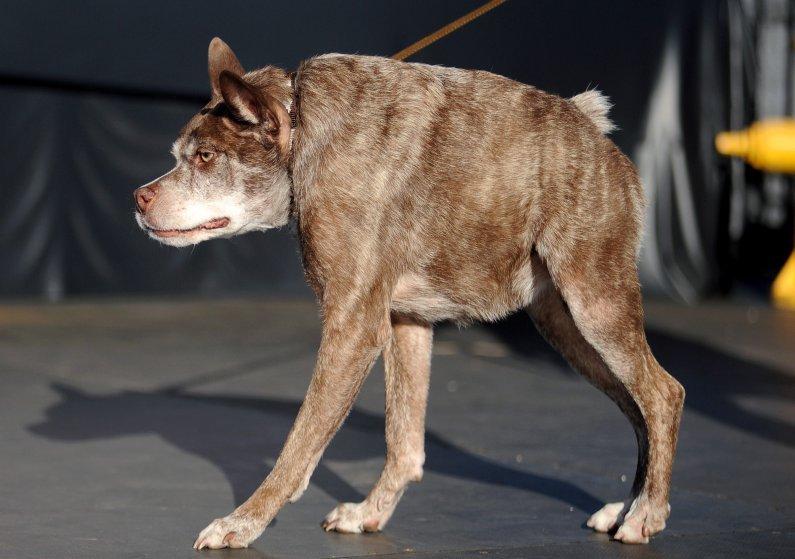 Пёс по кличке Пинат, возможно, метис чихуахуа и ши-тцу, позирует возле своего трофея после победы в