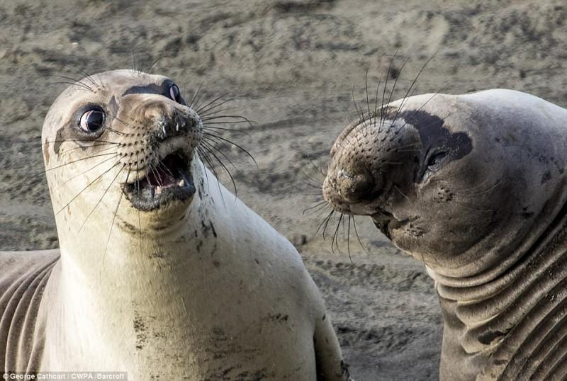 Молодой морской слон выглядит потрясенным откровением своего друга. Фото Джорджа Кэткарта под назван