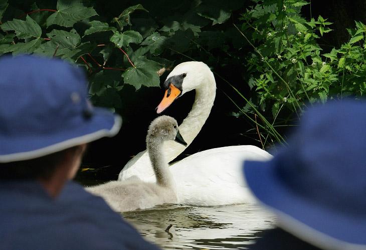 1. Торжественное начало переписи лебедей на Темзе, 18 июля 2016. (Фото Dan Kitwood):